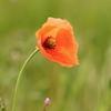 Poppy_reasonably_small