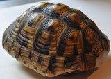 Schildkrötenpanzer von Joseph Drauschke